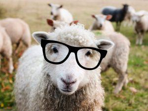A nice sheep wearing glasses