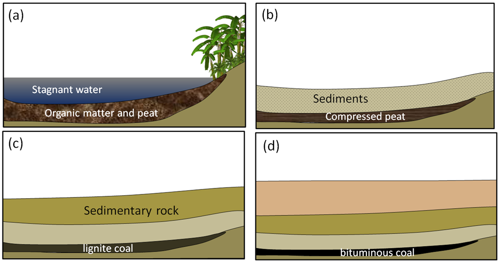 Figure 5.4.7: Formation of coal: (a) accumulation of organic matter within a swampy area; (b) the organic matter is covered and compressed by deposition of a new layer of clastic sediments; (c) with greater burial, lignite coal forms; and (d) at even greater depths, bituminous and eventually anthracite coal form.